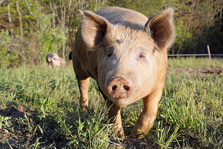 """Respecting and honoring the pigness of the pig is a foundation for societal health."" ~Polyface Farm (photo credit)"