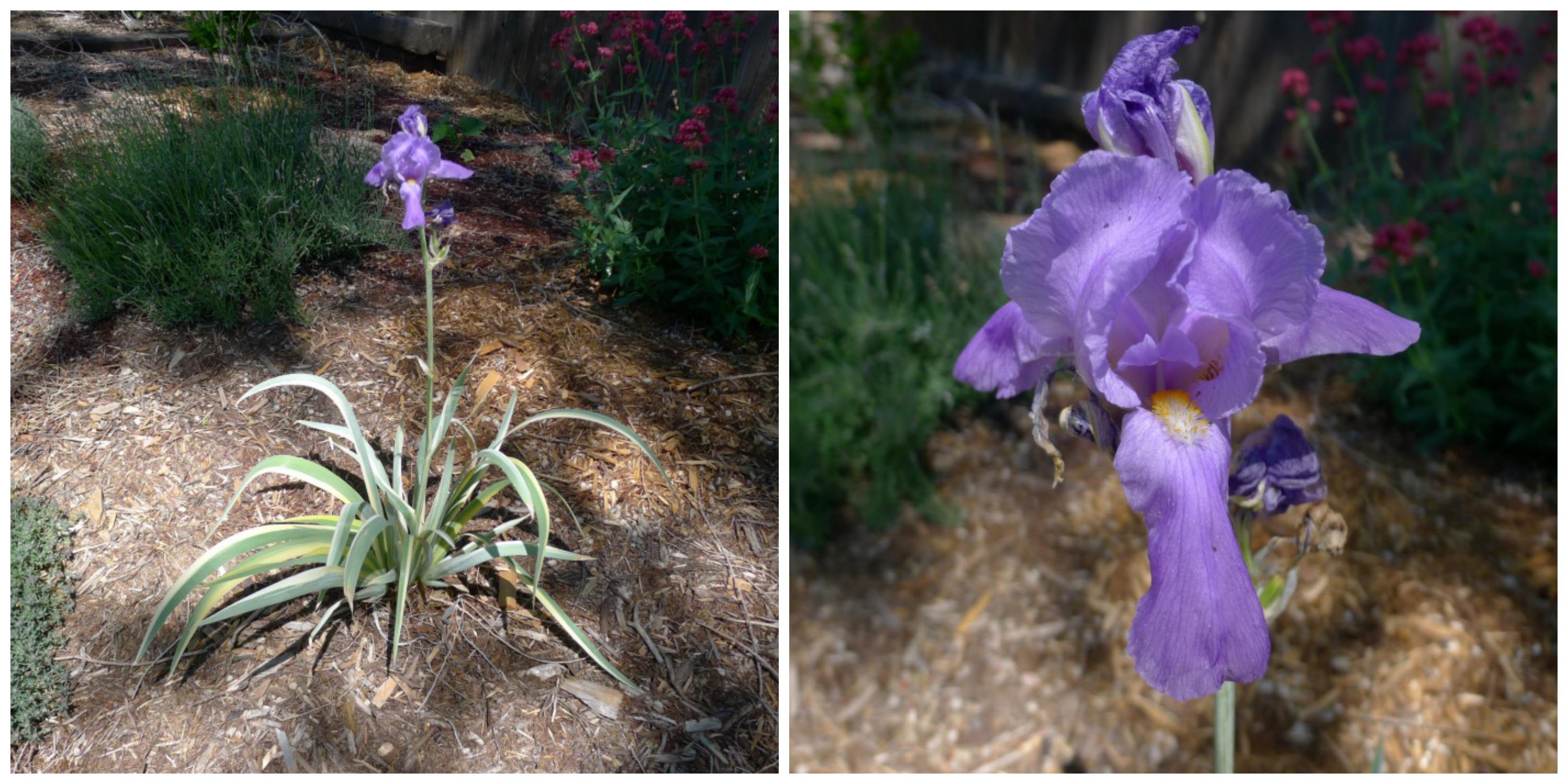 june iris collage
