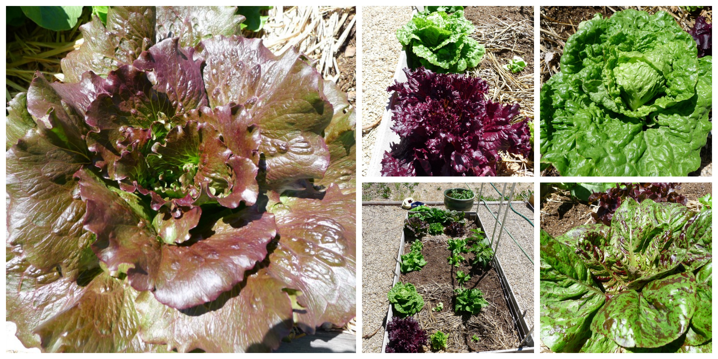 june lettuce collage